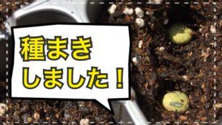 毛豆(枝豆)、栗みやこ(かぼちゃ)、スナックえんどうの種まきをしました!