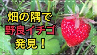 畑の隅で野良イチゴ発見!これは神様からのプレゼントか!?