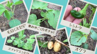 種まきから約一ヶ月経過!家庭菜園の畑の様子をご紹介☆