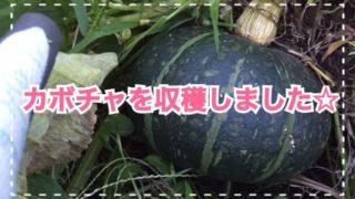 家庭菜園1年目!カボチャ(栗みやこ)を収穫しました☆