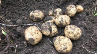 【家庭菜園】ジャガイモの試し掘りをしてみました。男爵イモと野良ジャガイモの出来はどうだった?