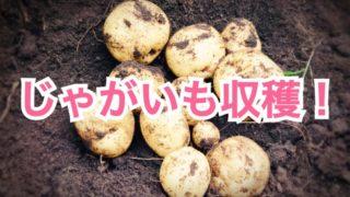 【家庭菜園】じゃがいも収穫!雑草ボーボーでも結構採れました☆